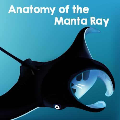 David Todd On Twitter Anatomy Of A Manta Ray Aka The Majestic