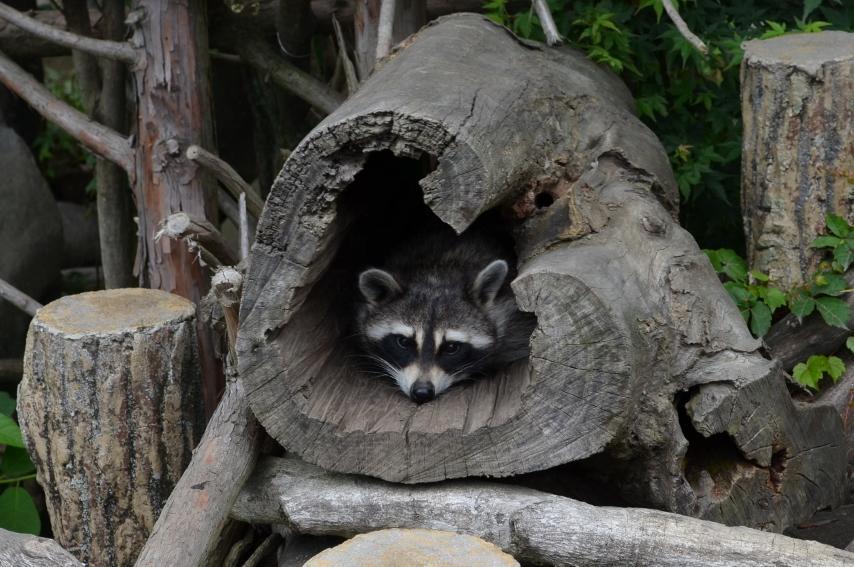 おはようございます!平川動物公園開園しました★ 雨ですが、職員及び動物たちも皆様のお越しをお待ちいたしております。 写真は雨の日でも皆様に来てほしいとお願いする『アライグマ』