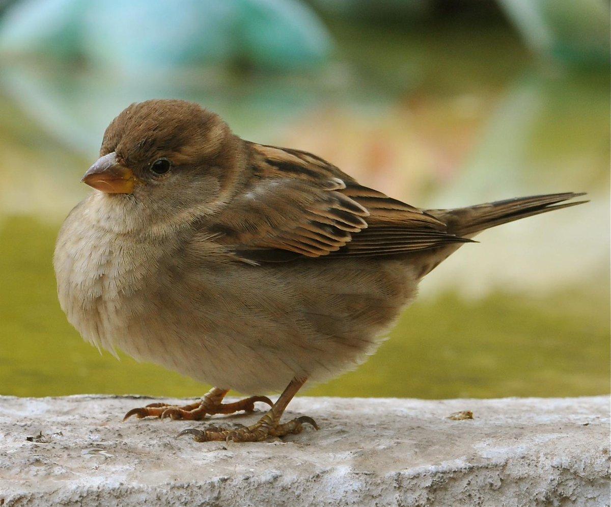L'osservatorio sugli uccelli ha stabilito che la Passera d'Italia è il simbolo del Belpaese