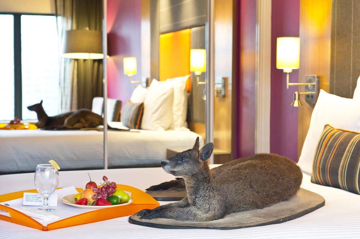 Reply with a caption for this #wallaby kicking back & win entry to the AM and a night at @PullmanSydHP. #wildmuseum http://t.co/R1owo1p43r