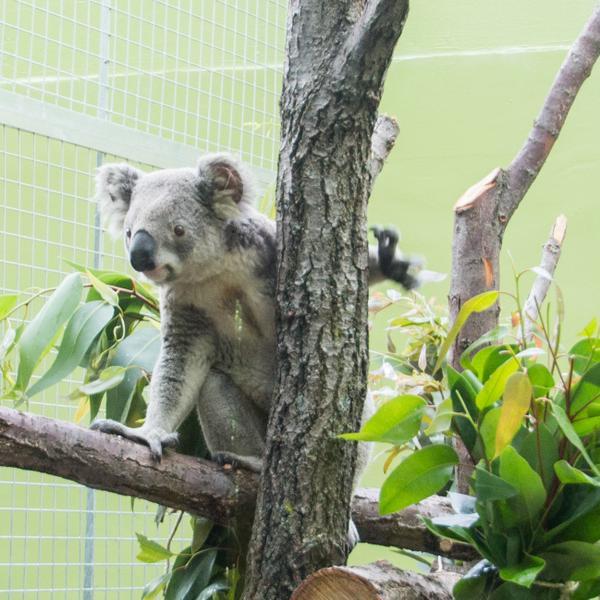 Koalas Return To Indianapolis Zoo