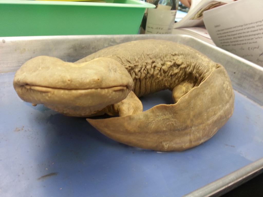 U-g-l-y you ain't got no alibi you ugly! Learning about cryptobranchus family and hellbenders for #osuherps #cute http://t.co/jfRXpov7Gs