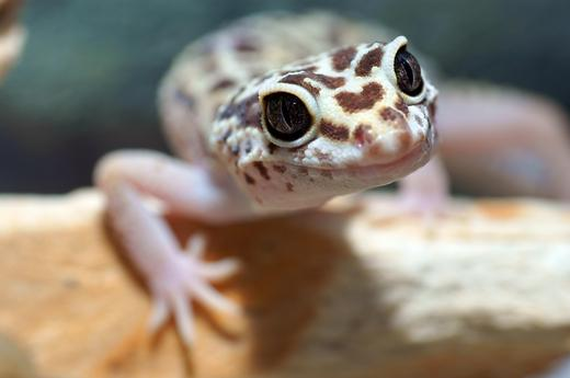 rebecca on twitter petco have you even seen a leopard gecko