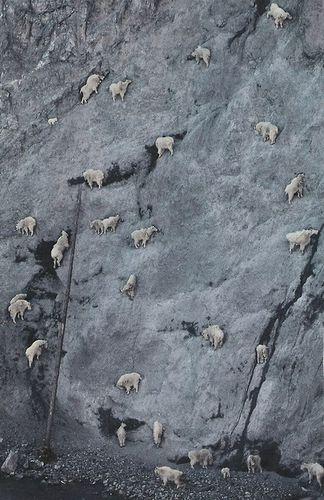 ヤギはすごい勢いで崖を登るし、崖が無くても登る pic.twitter.com/72V9zuW0ab