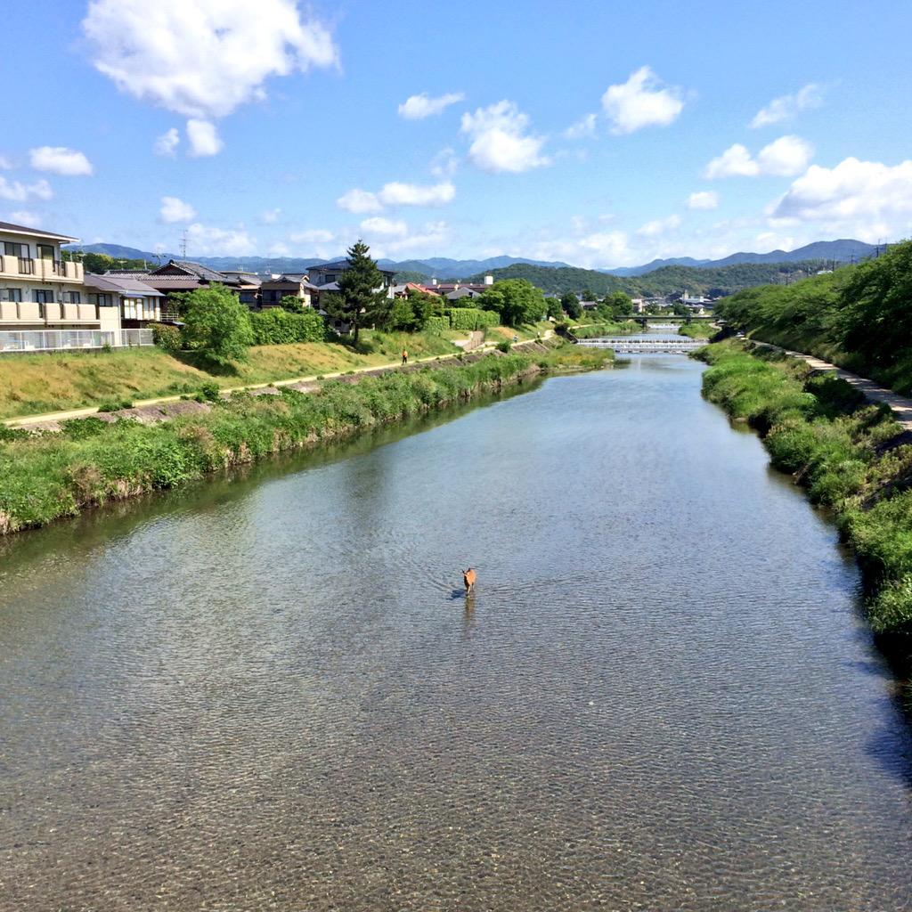 高野川の真ん中を鹿が歩いてる… pic.twitter.com/aNOktclyis