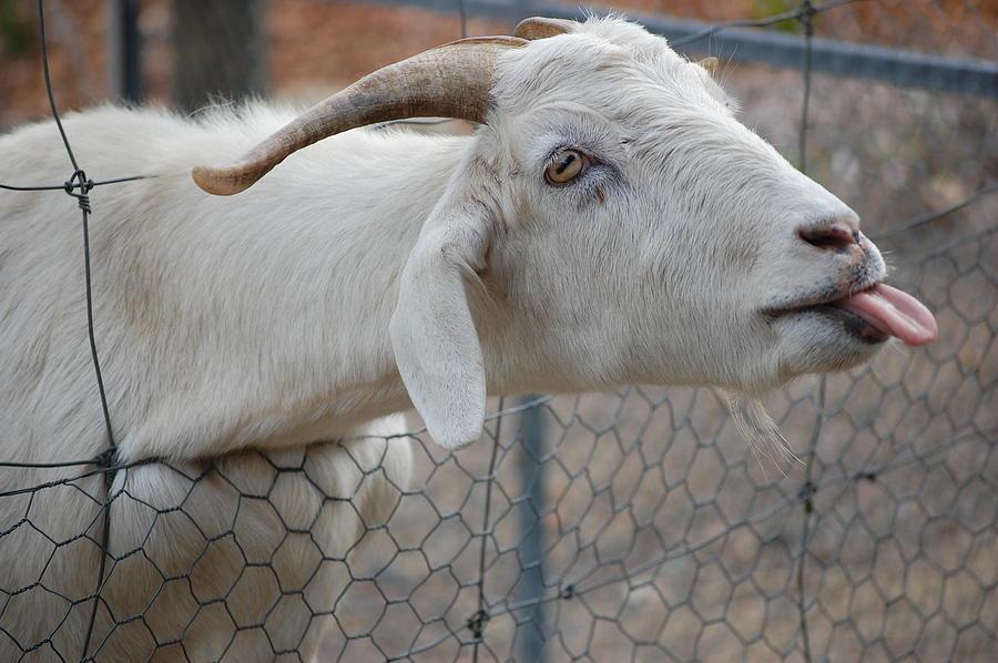Goat lick feet
