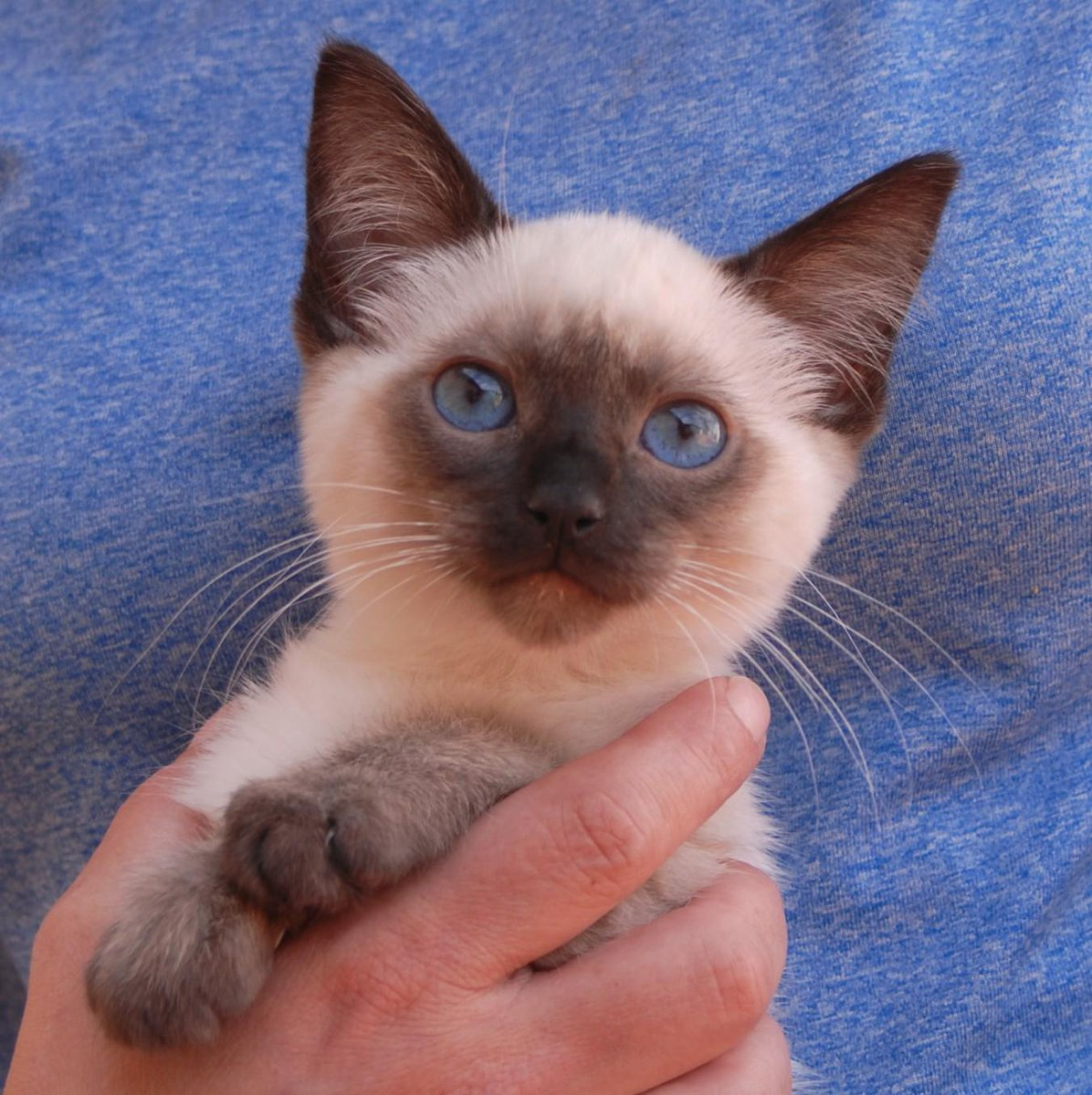 "Nevada SPCA on Twitter ""Paladin Siamese kitten for adoption He"