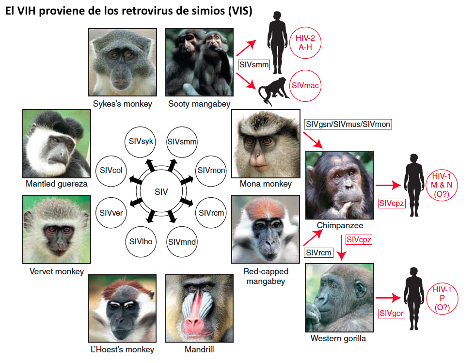 El VIH proviene de retrovirus de distintos simios que al menos en cuatro ocasiones pasaron al hombre #microMOOC http://t.co/REEPZQch85