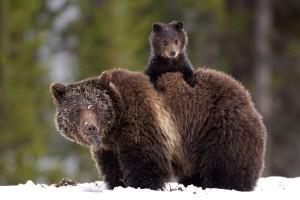 RT @Protect_Wldlife: Pls Sign & RT: Ask @BarackObama Officials to Meet With Tribes Over Grizzly #Bear Protection! http://t.co/sfyZ9LoDf4 ht…