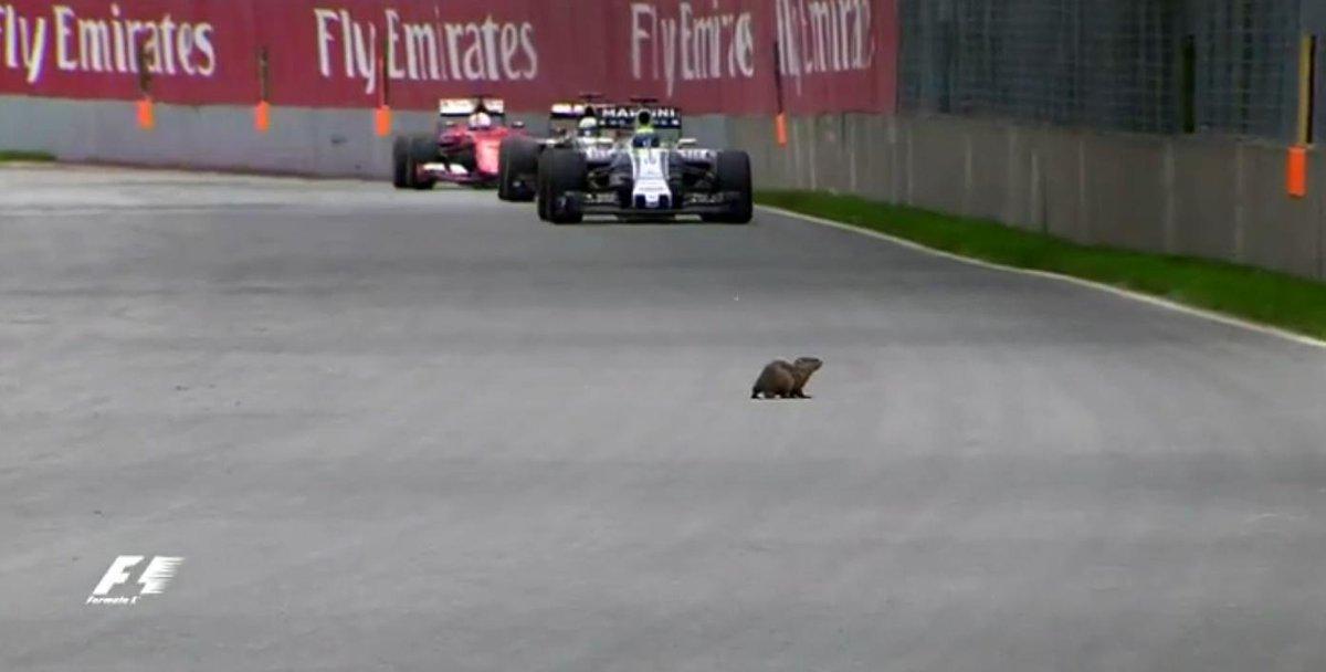 La marmotta canadese del Gran Premio del Canada di F1
