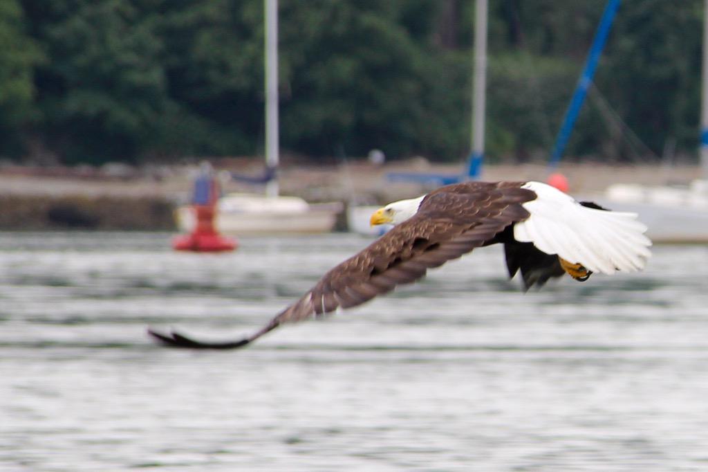 Bald Eagle in flight in #Vancouver seen on my @SeaVancouver zodiac excursion #ExploreCanada http://t.co/9GUC210Y7L http://t.co/HcDYGQg6ql