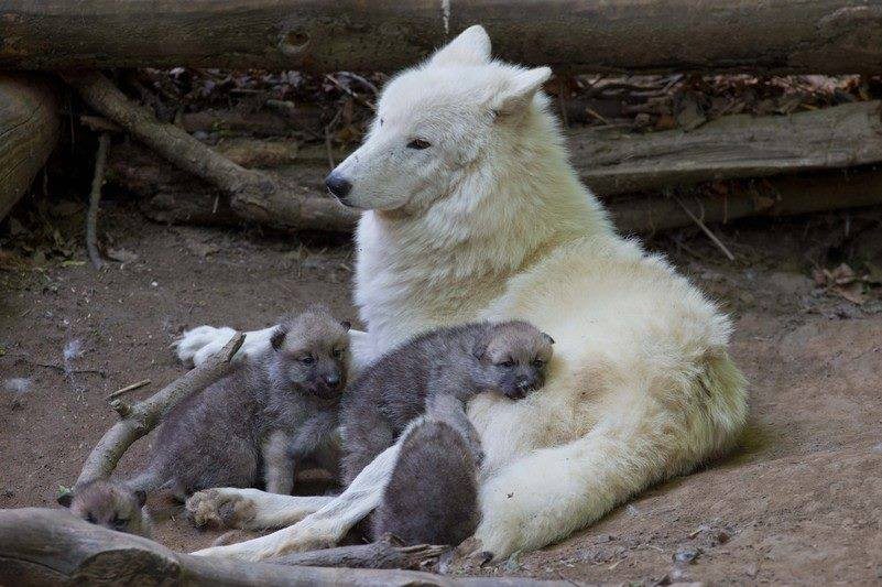Truly gorgeous #wolves family! https://t.co/xTjJ7FRty7 c @MyPackofWolves #nature #photography #wildlife #travel
