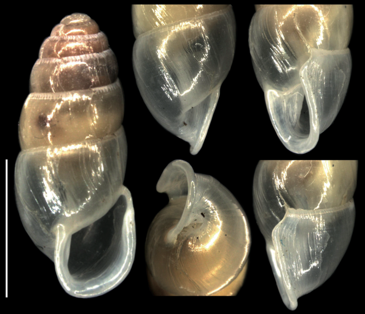 First look inside Elma, a hunter snail: no relation to Pseudelma after all #MolluscMonday http://t.co/rbNBqE2o3u http://t.co/kXjI3giG1L