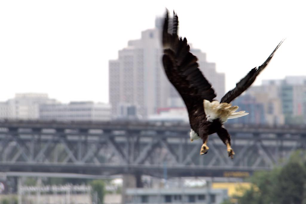 Flying Bald Eagle in #Vancouver seen on my @SeaVancouver zodiac excursion #ExploreCanada http://t.co/9GUC210Y7L http://t.co/066Rg5kjTl
