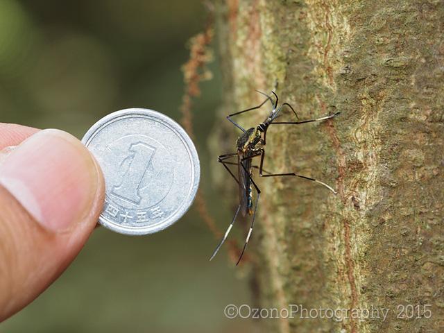 今日のひとこま。日本最大のカ(蚊)、トワダオオカ。この大きさを伝えたくて、一円玉を並べて撮影。大きいだけでなく、金粉をまぶしたように煌びやか。しかも吸血しない、幼虫(ボウフラ)は他の蚊のボウフラを食べるなど、非の打ちどころがありません http://t.co/twDwPttfF3