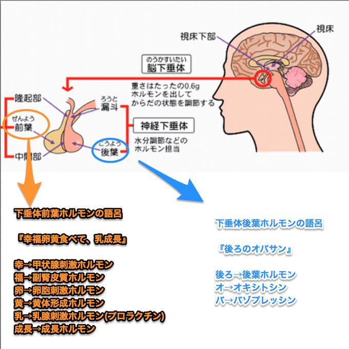 ホルモン ゴロ 皮質 副腎