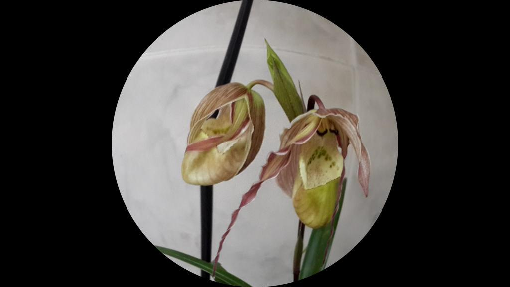 Hedera helix (Hedera helix) MEDICINAL PLANTS - YouTube