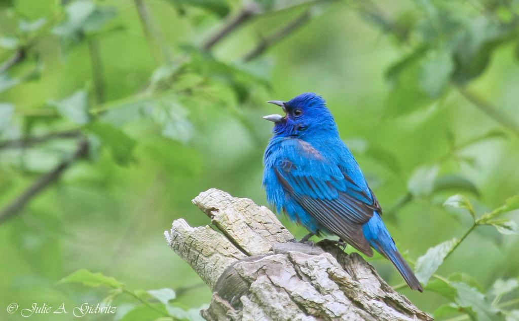A Kirtland's Warbler & Other Spring Birds ~ http://t.co/HSPhxPlhM9 #birding #birdwatching #birds #photo #nature http://t.co/Q6wFgSJ0QX