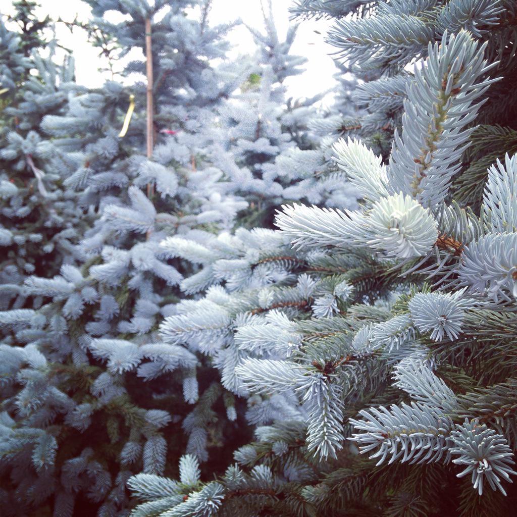Picea pungens hoopsii http://t.co/JOJiVr0riU