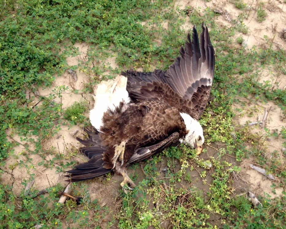 Sadly, we must ask for your help in finding those responsible for poisoning 2 bald #eagles. http://t.co/OErn097TlC http://t.co/bMKolxA3fe