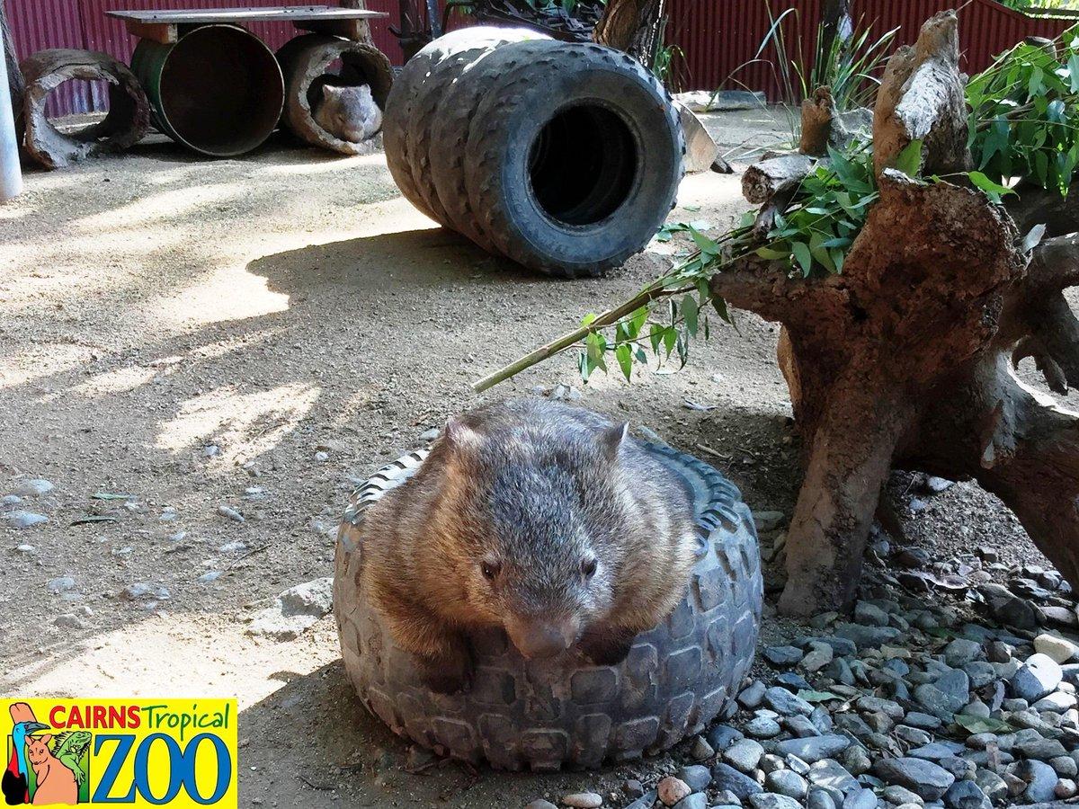 穴があったら入りたい♪   #オーストラリア #ケアンズ #ウォンバット #動物園 #トロピカルズー #Cairns #Australia #Zoo #exploreTNQ #wombat http://t.co/jpIsrB5f6I