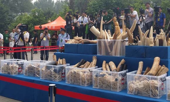 #CHINA Govt says planning to phase out commercial processing & sale of ivory at crush event http://t.co/4Xk02YrdOF http://t.co/8xT6IQQYEs