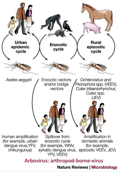 Arbovirus = ARthropod-BOrne-VIRUS, virus transmitidos por artrópodos: mosquitos y garrapatas #microMOOC http://t.co/jimv9XWz6b