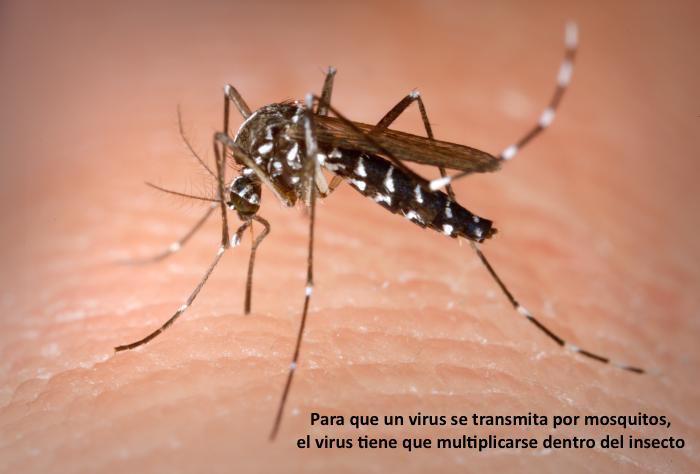 Para que un virus se transmita por mosquitos, el virus tiene que multiplicarse dentro del insecto #microMOOC http://t.co/vCyV0pS5CI
