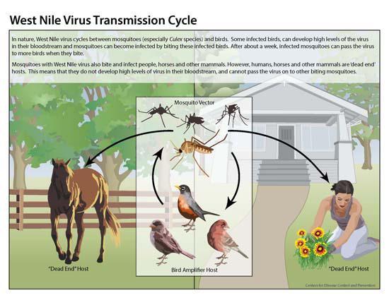 ¿Cómo se transmite el virus del Nilo occidental? Ciclo biológico: mosquitos + aves #microMOOC http://t.co/PTAWVgffyo