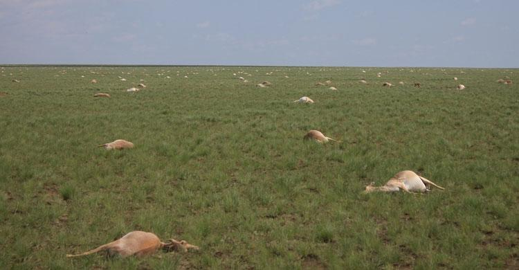 ICYMI, a mystery disease has wiped out over 1/3 of *all* saiga, an Asian antelope, in 2 weeks http://t.co/GBhzOoeOBW http://t.co/rt74qpFJng