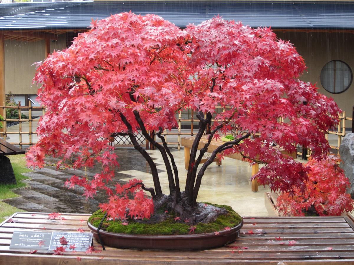 "Bonsai Empire on Twitter: ""Japanese maple, named Musashi-ga-oka. By Bonsai Tonight. #beautiful #photooftheday #bonsai #tree #nature #amazing http://t.co/yt23Yzy8Ry"""