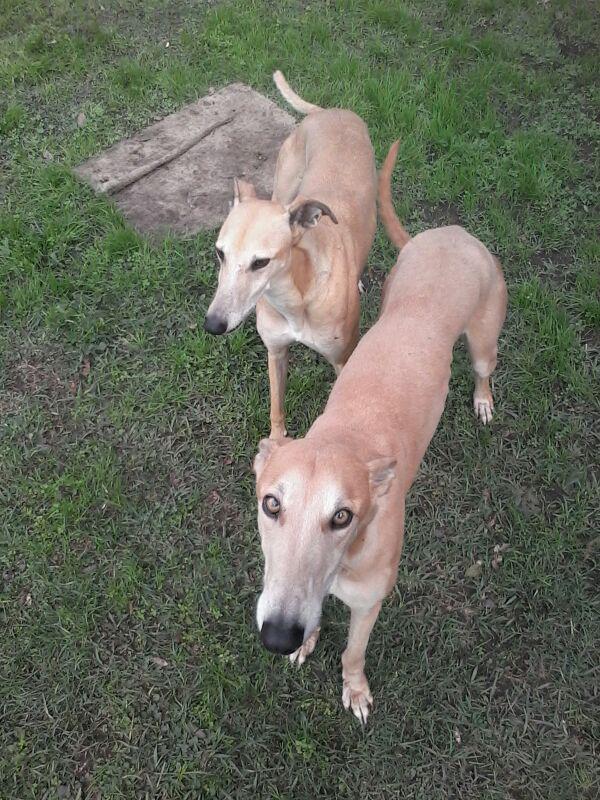 Buen dia !!Nadja y Jael , parejita de galgos rescatados que esperan al amor de su vida ♡♥ Adopción responsable http://t.co/LsnrGbYSmn