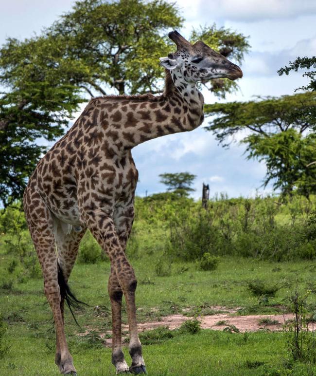 Wie Lang Ist Der Hals Einer Giraffe