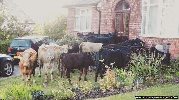 RT @BBCEngland: A herd of escaped cows takes up residence in gardens when they go on the loose in Sheffield http://t.co/HT7QklZrym http://t…