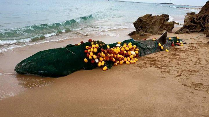 Spain: basking shark found dead on beach.  Cause of death: Entanglement http://t.co/4BBBS6uxUL  MT @OceanDefenderHI http://t.co/d1vEGGu2Gh