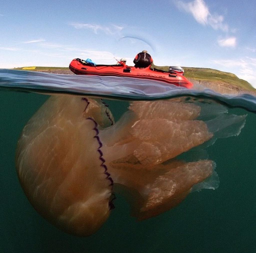 이렇게 큰 해파리가 있다네요. 영국에서 사진에 찍힘. http://t.co/GaIiRekHno