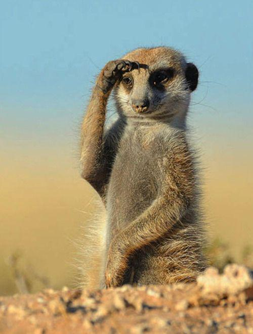 Looking forward to Monday?? :) https://t.co/QveS1Urh2Z c @foseidone #meerkat #nature #photography #travel
