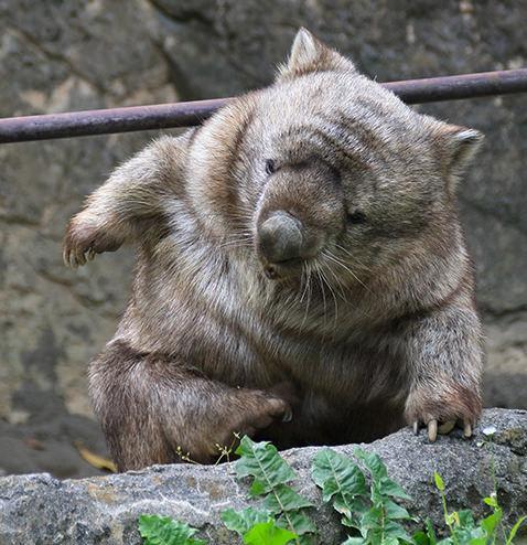 届かないウォンバット ヒロキ#ウォンバット #wombat #金沢動物園 pic.twitter.com/at3hJpnoaj