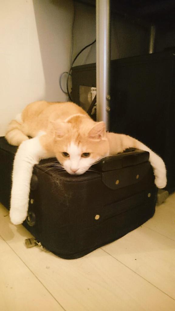 僕のキャリーが…ツアーの沖縄一緒に行きたいってさ。でもごめんね。連れていけないよ。うちの子、本当に猫なのか疑いの目しかない。 pic.twitter.com/YaMXY0tSCo