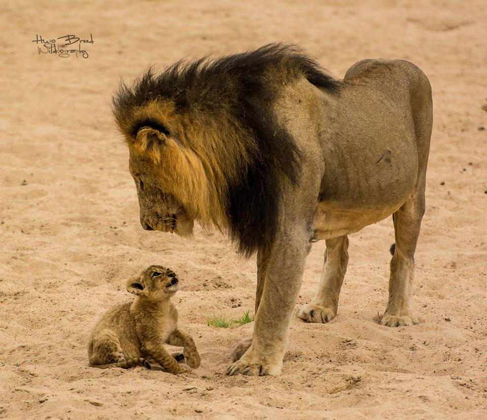 Precious moments...  Credit: http://t.co/h4F641AhdW   #africa #krugerpark #lions #precious http://t.co/O6ghgTdBNt