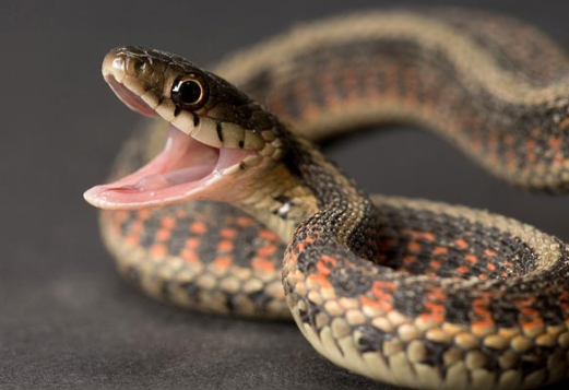 Kaas Snake