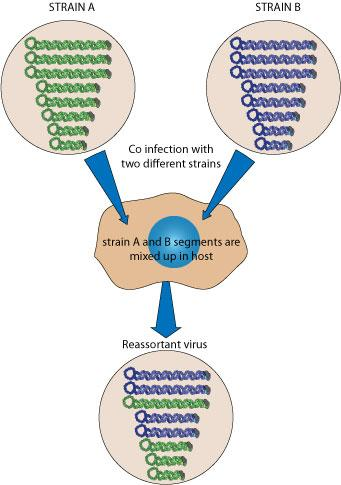 Desviación antigénica = genomas híbridos por recombinación de fragmentos #microMOOC http://t.co/Hy8Fl4NDc7