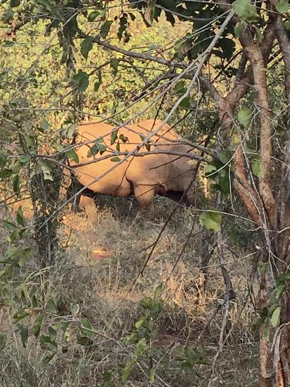 Spotted elusive, endangered black rhino @vicfallsbig5 – side,  rear, sleeping views– latter looks like a big rock http://t.co/MHTO9feeJI