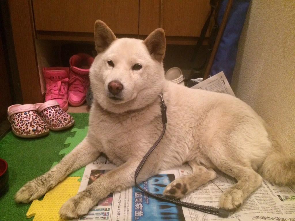 【拡散希望】6月4日午後、白い大きなワンちゃんを保護しました。お心当たりの方いらっしゃいませんか?とても大人しい雄犬です。保護した場所は、厚木市上依知付近です。 http://t.co/o5e0q0WNOn