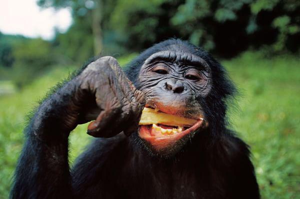 Gli scimpanzé preferiscono cibo cotto