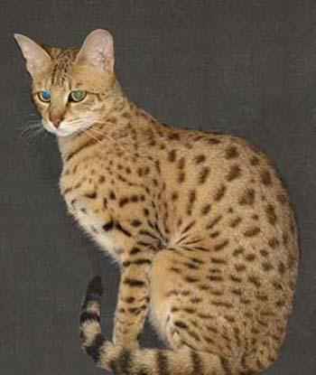 Jungletouch Savannah Cats and Kittens on Twitter: