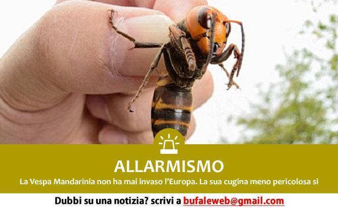 ALLARMISMO Calabroni giganti killer arrivano in Europa – Bufale.net