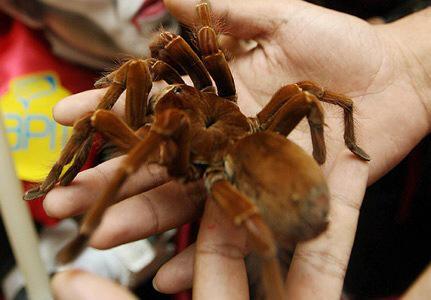 ルブロンオオツチグモ
