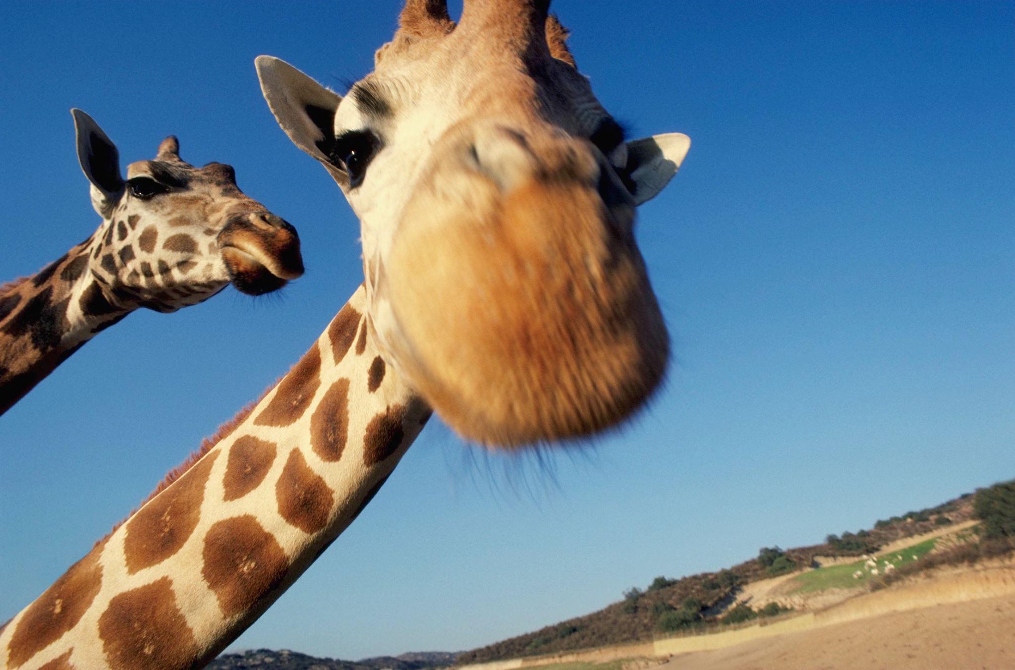 Жирафики картинки прикольные