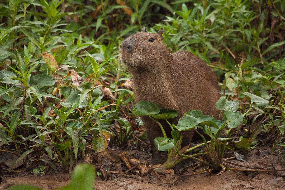 Even the capybara, the world's largest rodent, falls prey ...